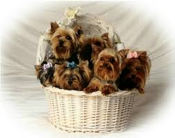 miniature yorkies