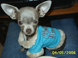 chihuahua the dog