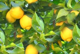 picture of lemon tree