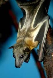 straw colored fruit bat