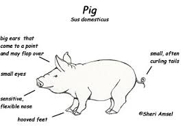 diagram of a pig