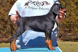 doberman pinschers puppies