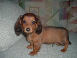 long haired mini dachshunds