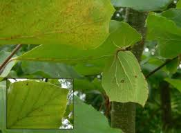 camouflaged butterflies