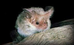 long eared bats