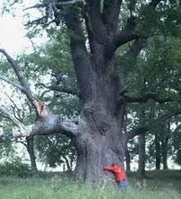 mamutbaum
