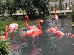 flamingos pictures