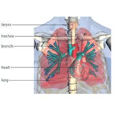 human body organ diagram