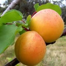 apricot variety