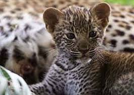 baby leopards pictures