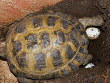 russian tortoise eggs