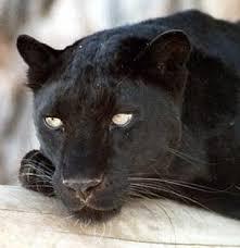 big cats panther