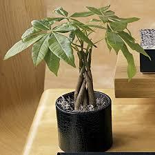 asian money tree