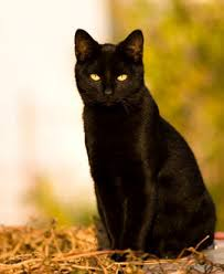 picture of black cats