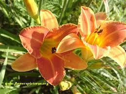 daylilies flowers