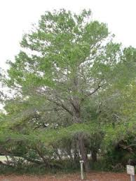 pictures of florida trees