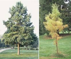bald cypress picture