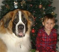big saint bernard