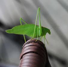 esperanza insecto