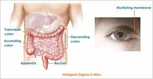 human anatomy organ