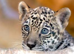 pictures of baby jaguars