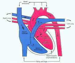 dogs circulatory system