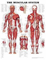 muscular chart