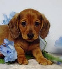 mini doxie puppies