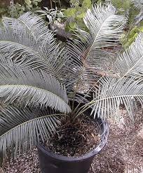 cycas taitungensis