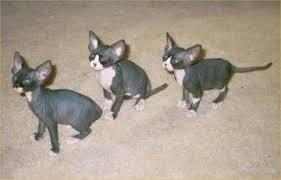cat glands