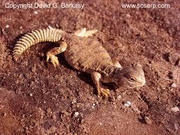 mali uromastyx lizards