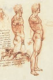 male anatomy drawings