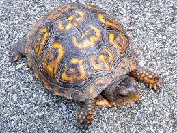 mini turtles pets
