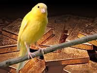 canary gold
