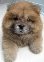 pictures of chow chow dogs