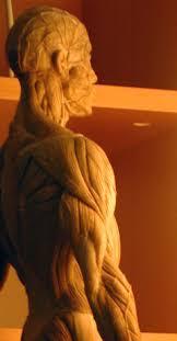anatomy figure