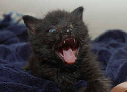 kitten hissing
