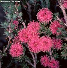 Melaleuca is a large genus of