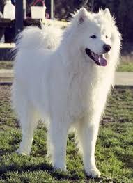 dog breed samoyed