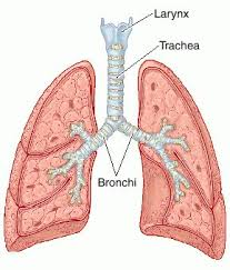 picture of the trachea