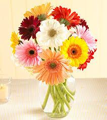 gerbera daisy colors