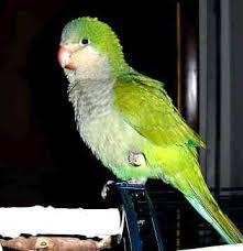 quaker birds