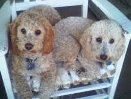 bichon poodle pictures