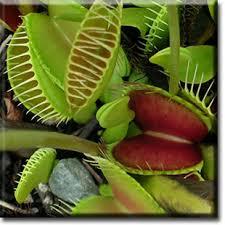 flytrap plants