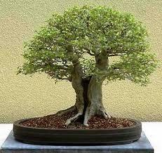 chinese bonsai