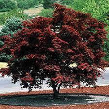 japanese bloodgood maple trees