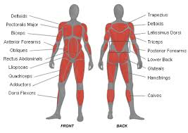 names of muscles in the body