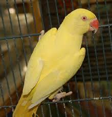 lutino parrot