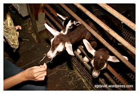 goat farm pictures