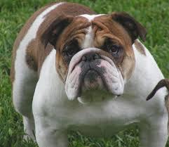 brindle english bulldogs
